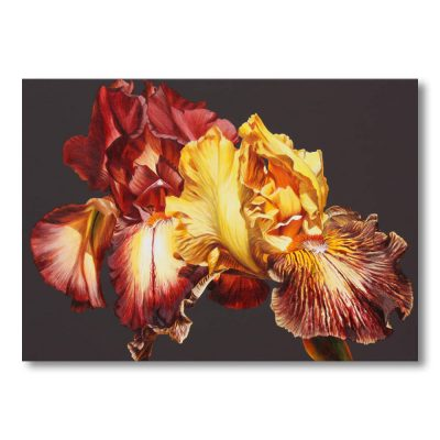 two cayeux irises toffee and gold coloured on chocolate brown background painting by Sarah Caswell