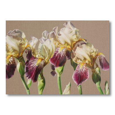 Bi-coloured cream and mauve Old fashioned irises on linen background painting by Sarah Caswell