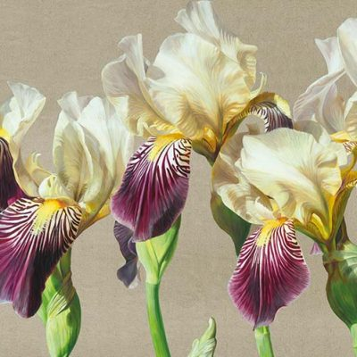 Cream and mauve 'Lorelei' irises with green leaves in bright sunshine on a linen background