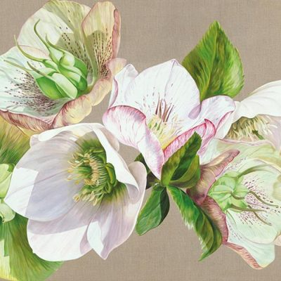 White, green and pale pink veined hellebores with green leaves in bright sunshine on a linen background