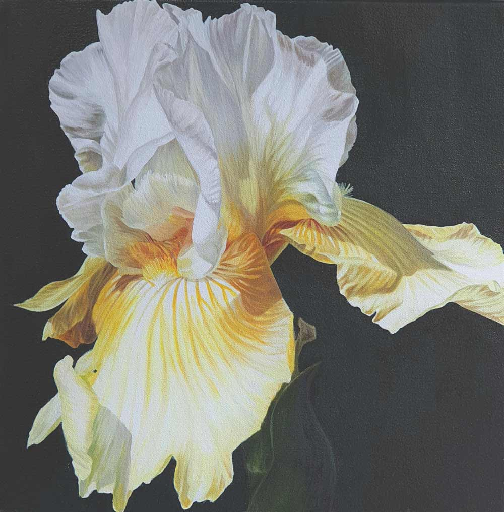 Original acrylic painting on cotton canvas of Lemon yellow and white bearded iris in bright sunshine on cast iron painted ground.