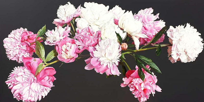Pink and white peonies in bright sunshine on dark brown background